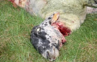 loup mouton
