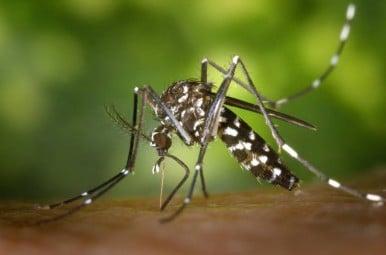 tigre mosquito-49141_960_720