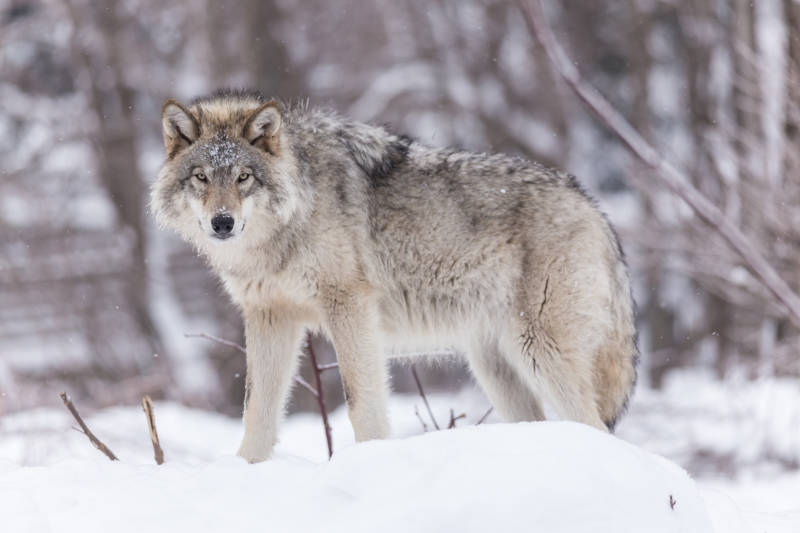 Timber Wolf in winter