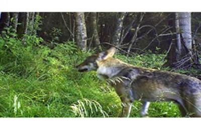 loups-des-vosges-400x255