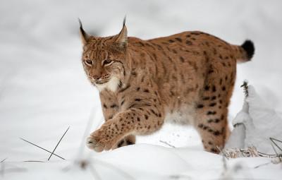 Lynx_Martin_Mecnarowski