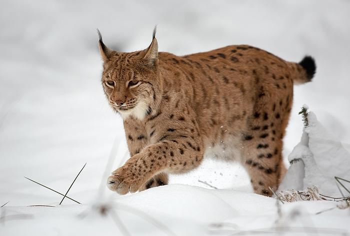 Un lynx retrouvé abattu dans les Vosges
