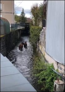 2 vaches en «thalasso» dans La Jamagne